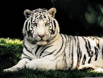 TheMirage SecretGarden witte tijger